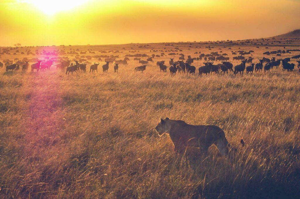 Réserve nationale du Masai Mara (Kenya)