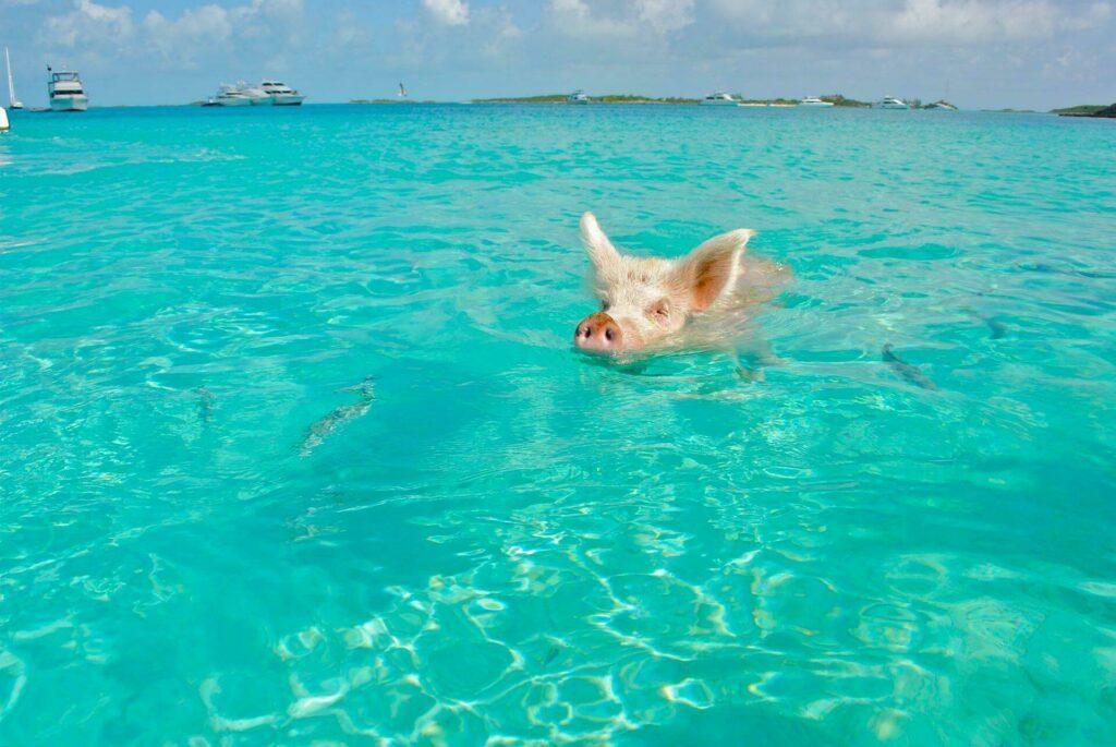 cochon bahamas