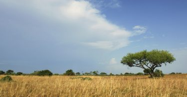 Lone Acacia Tree, Waza National Park, Cameroun