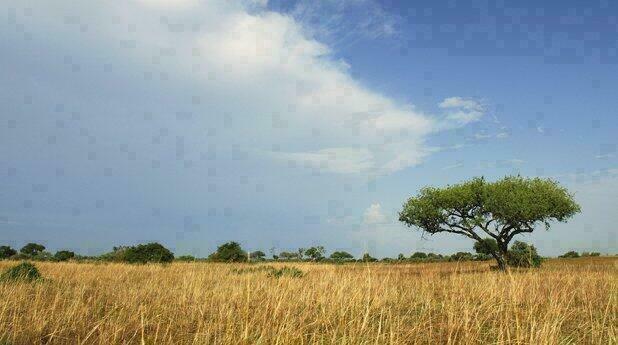 Lone Acacia Tree, Waza  National Park, Cameroun