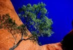 ayers-rock-tree