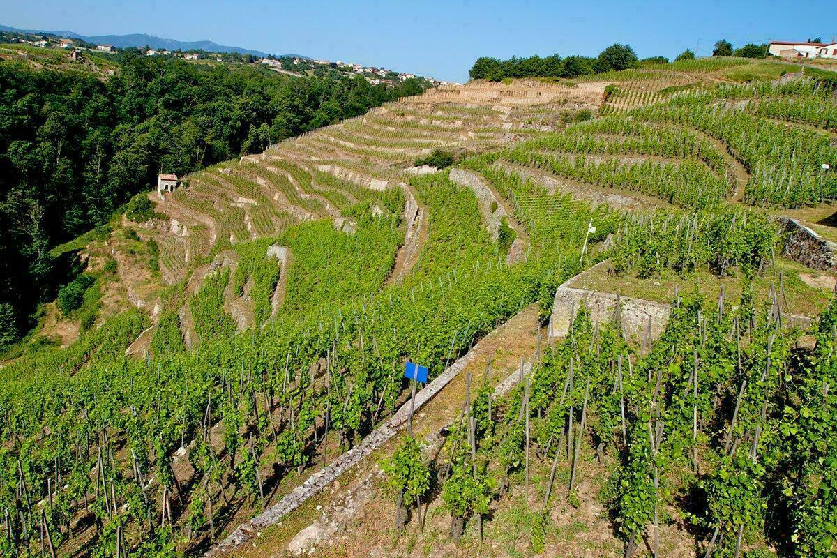 Les vignes de Condrieu, parc du Pilat