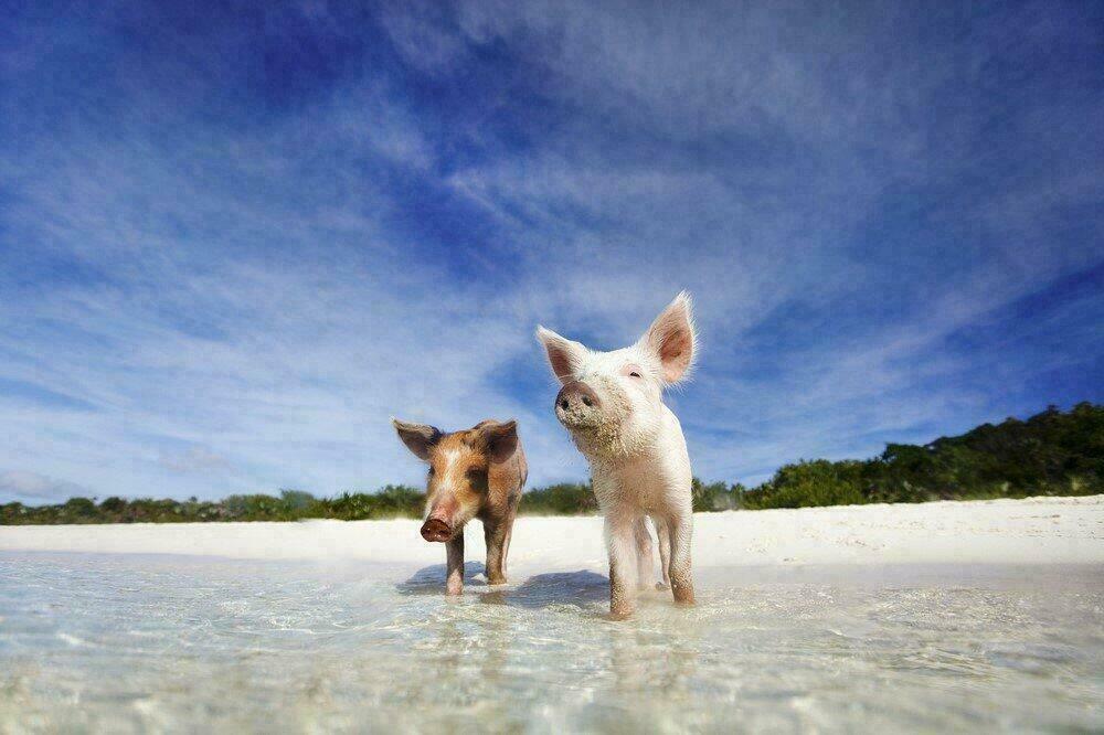 Cochons roses et noirs aux Bahamas