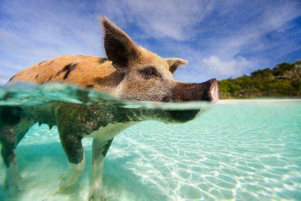 Nager avec les cochons aux Bahamas