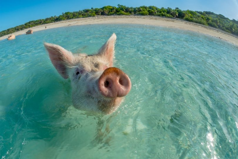 Cochon des Bahamas