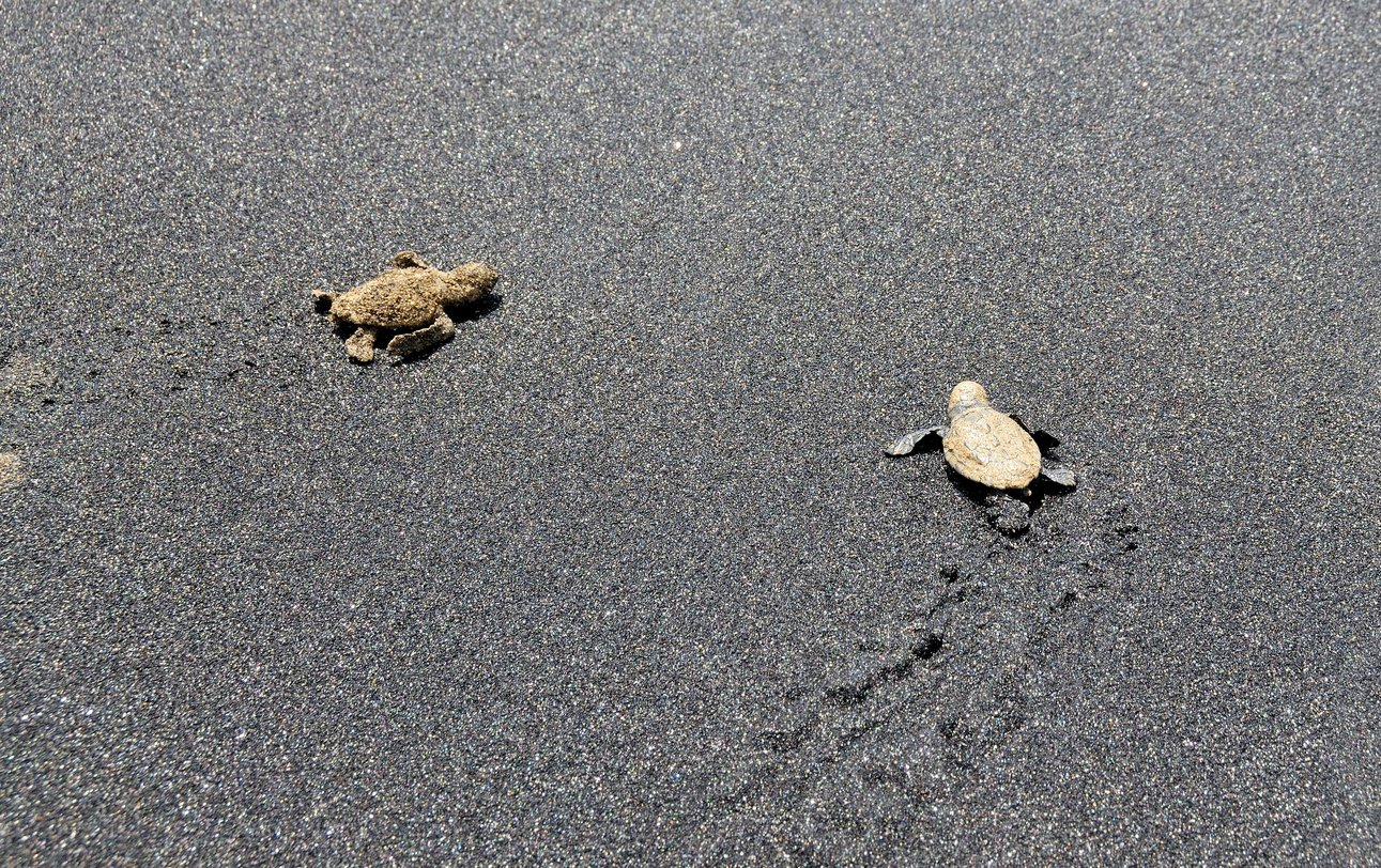 Bébés tortues caretta caretta