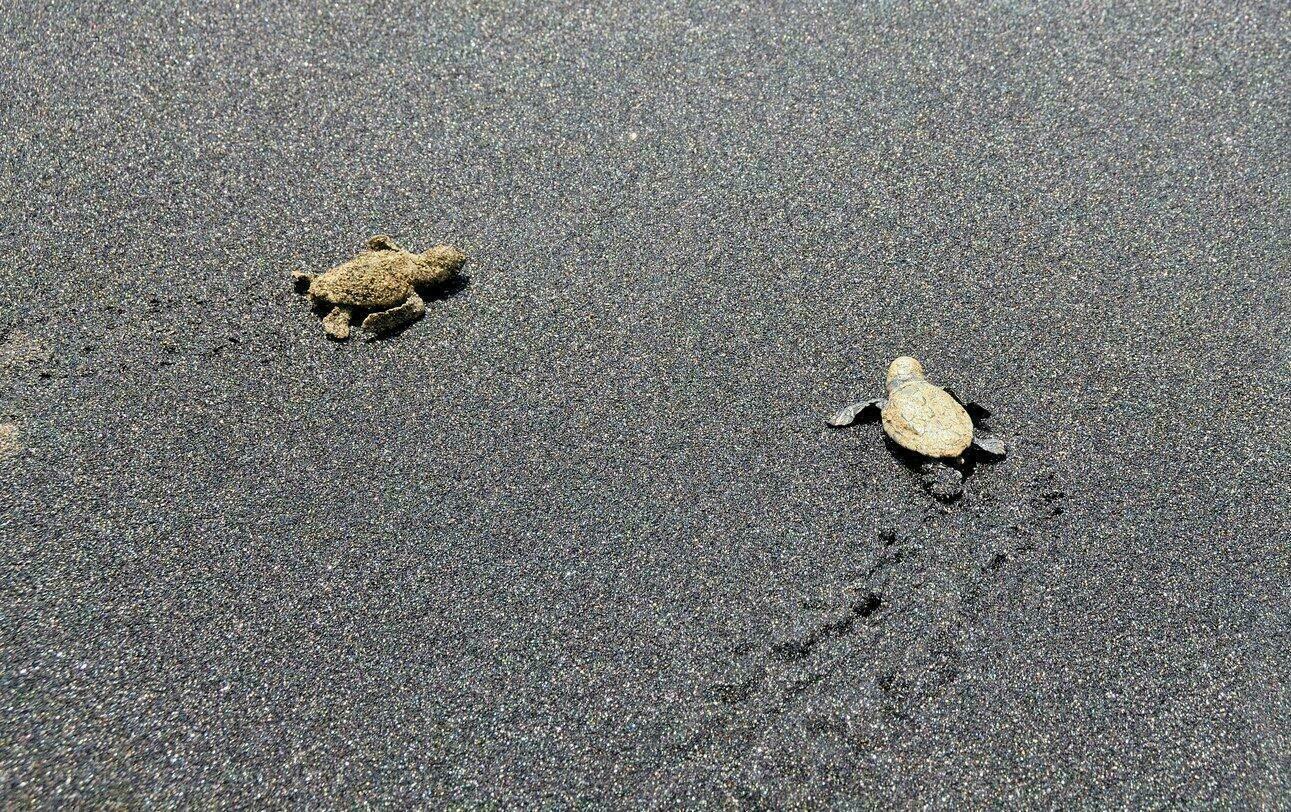 Bébés tortues caretta caretta