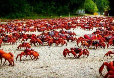 Les crabes rouges de Christmas Island