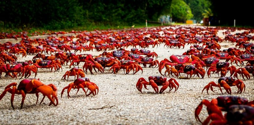 Les crabes rouges de Christmas Island