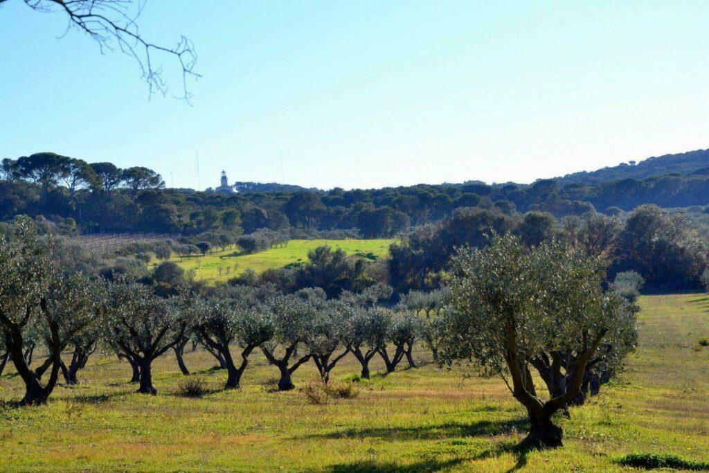 Champs d'oliviers sur l'île de Porquerolles