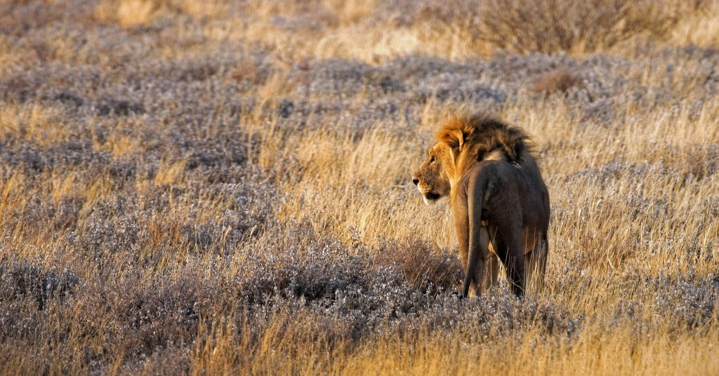 Lion dans le parc national d'Etosha