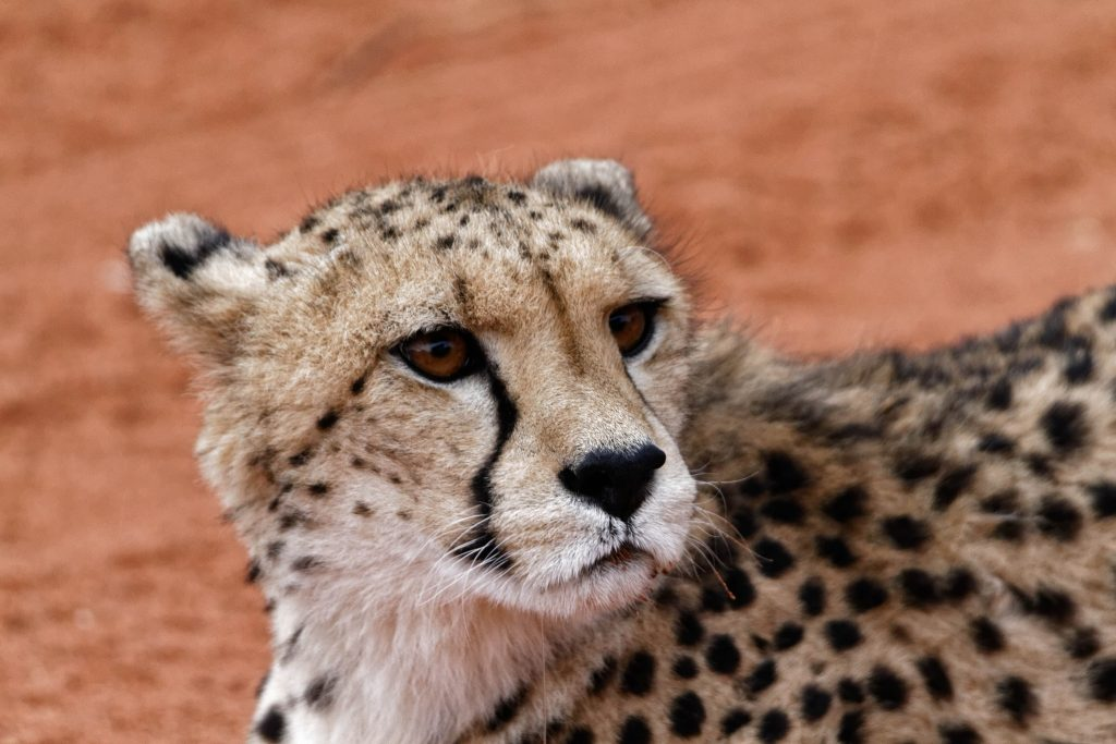 Guepard de Namibie