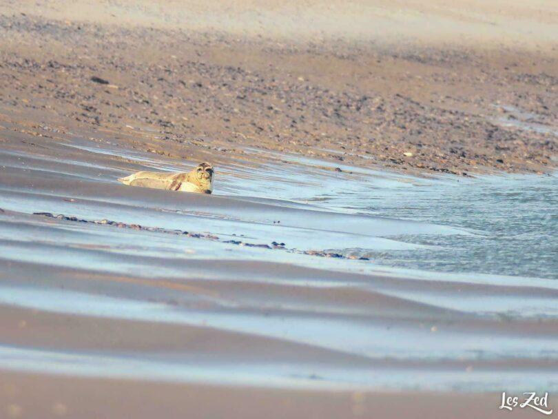 Animaux sauvages en France : phoque en Baie de Somme