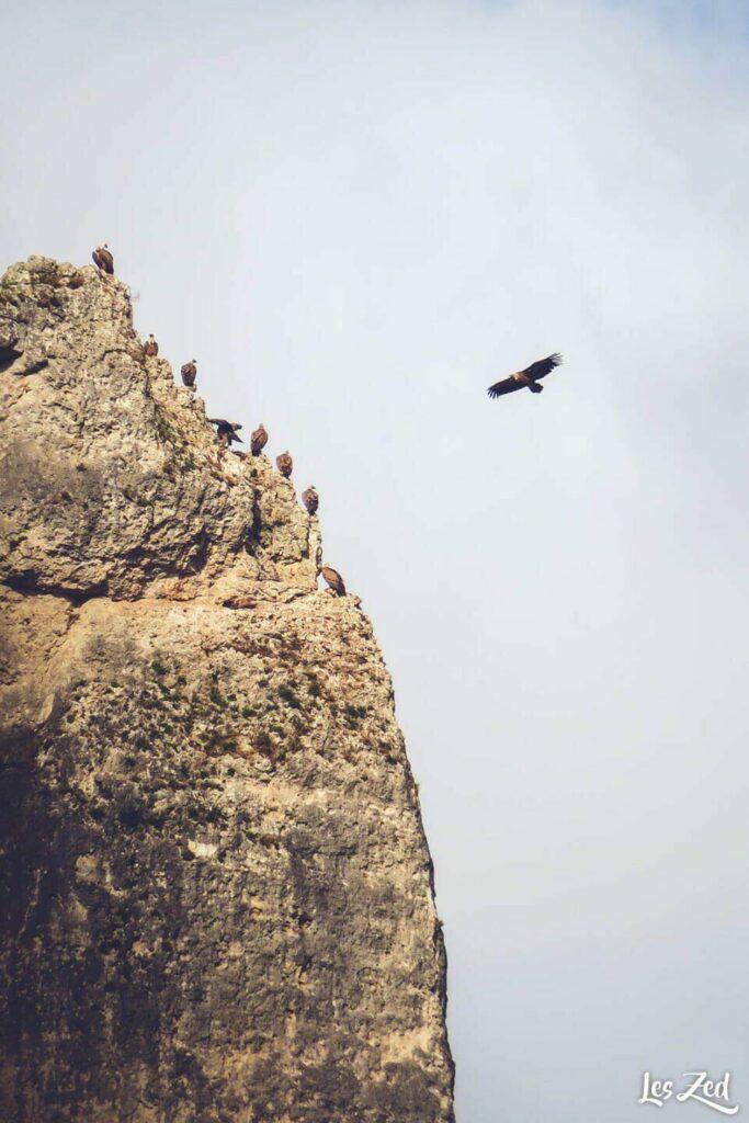 Vautours dans les Gorges de la Jonte