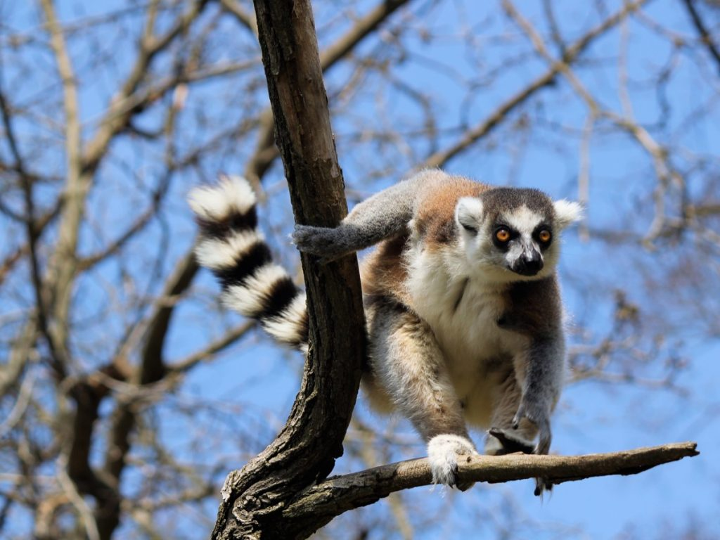 Lémurien de Madagascar