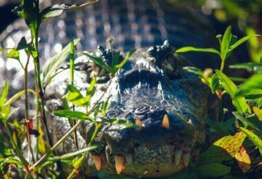 un caïman du Pantanal