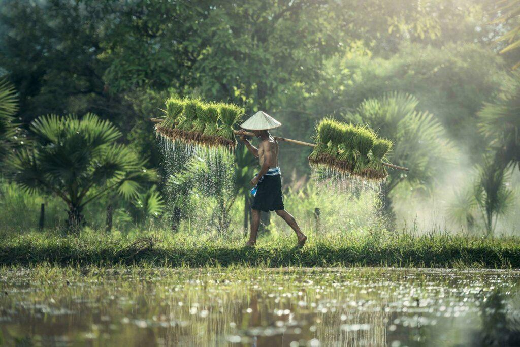 cultivateur riz