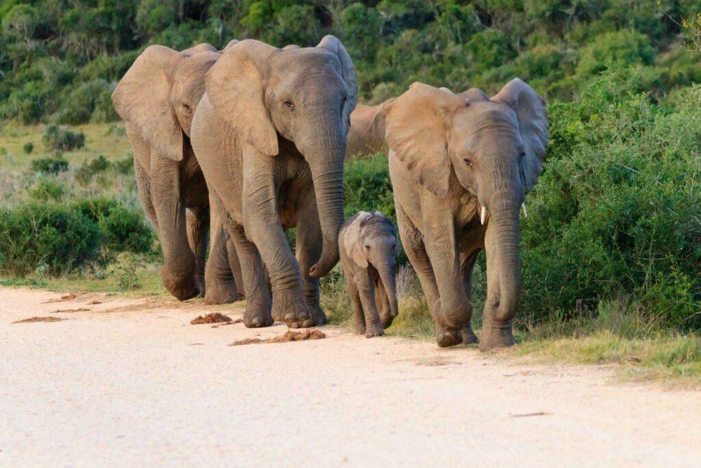 parc Addo elephants
