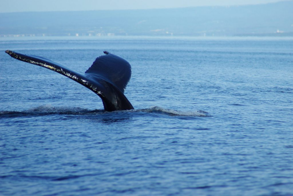 baleine Québec