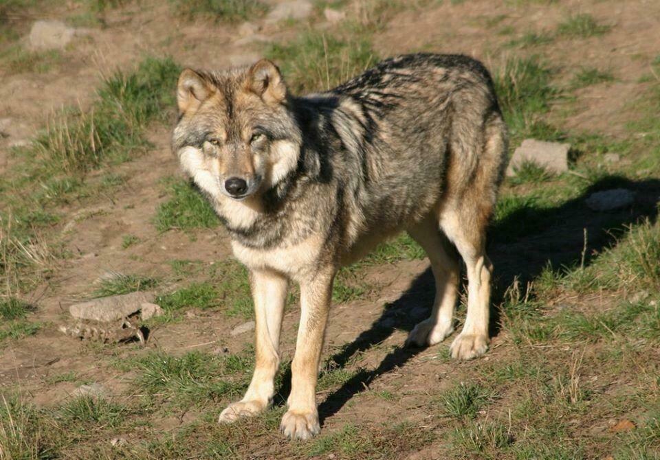 loups Gévaudan