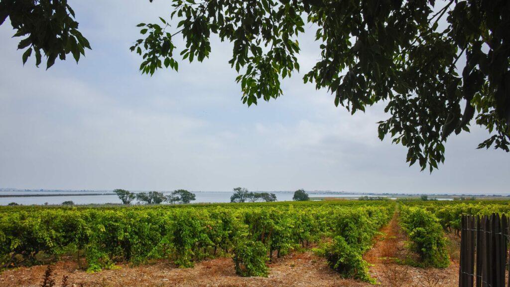 Les vignes de Maguelone