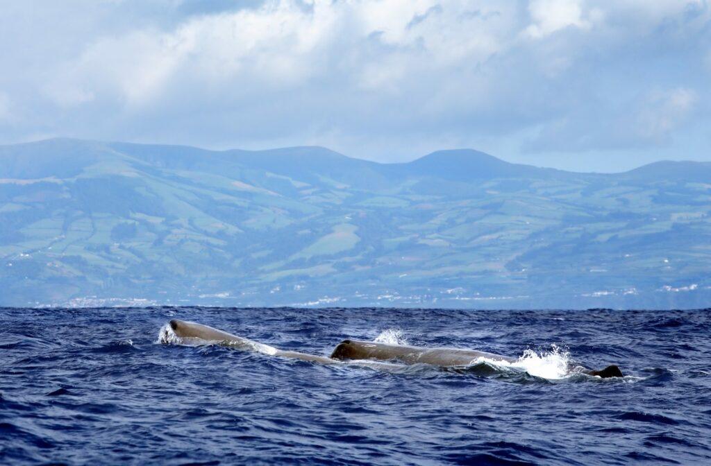 cachalots aux Açores