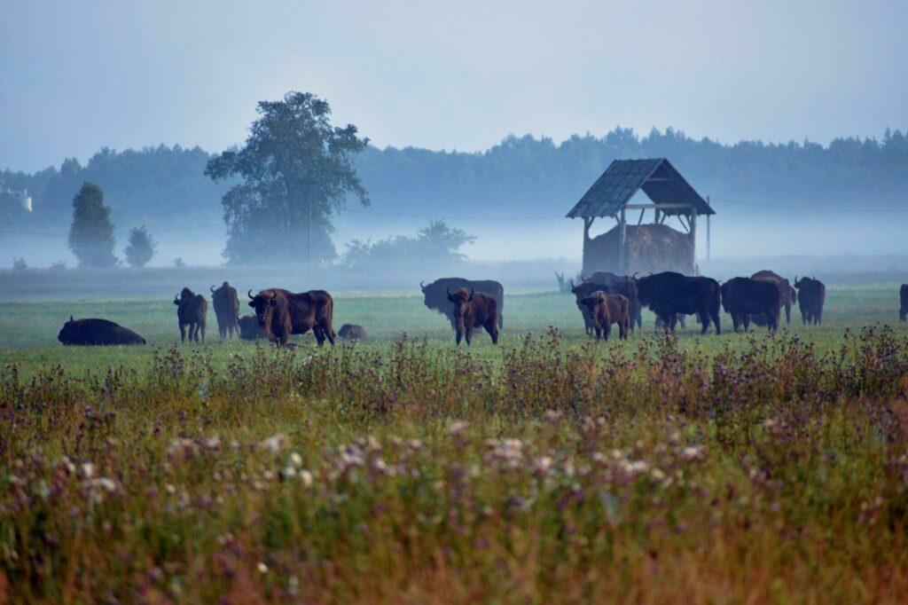 bisons Bialowieza