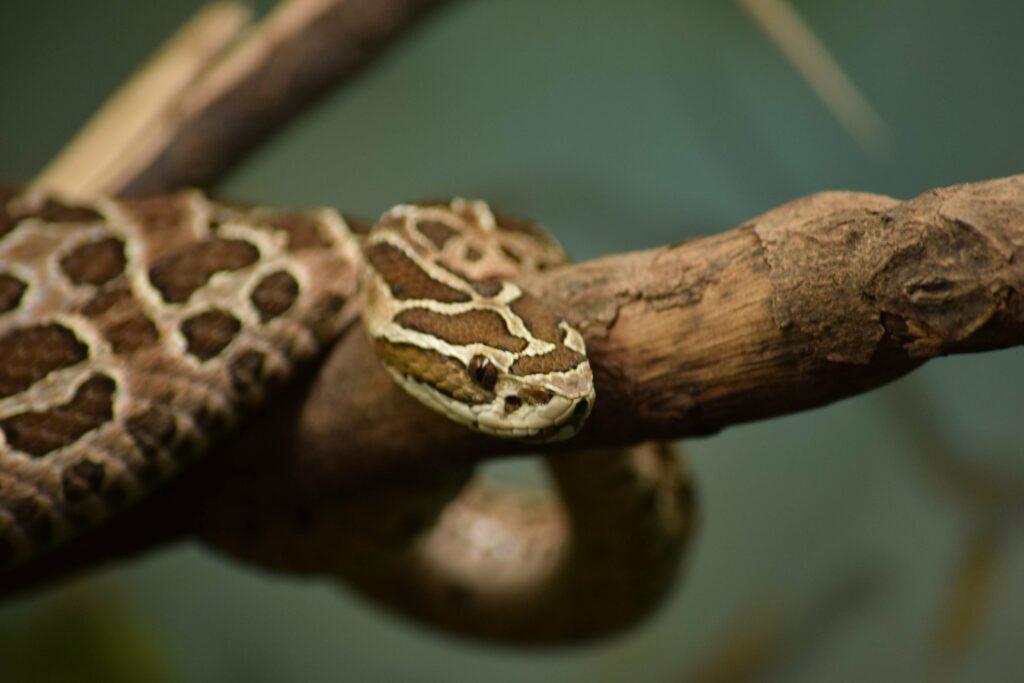 serpent du Brésil