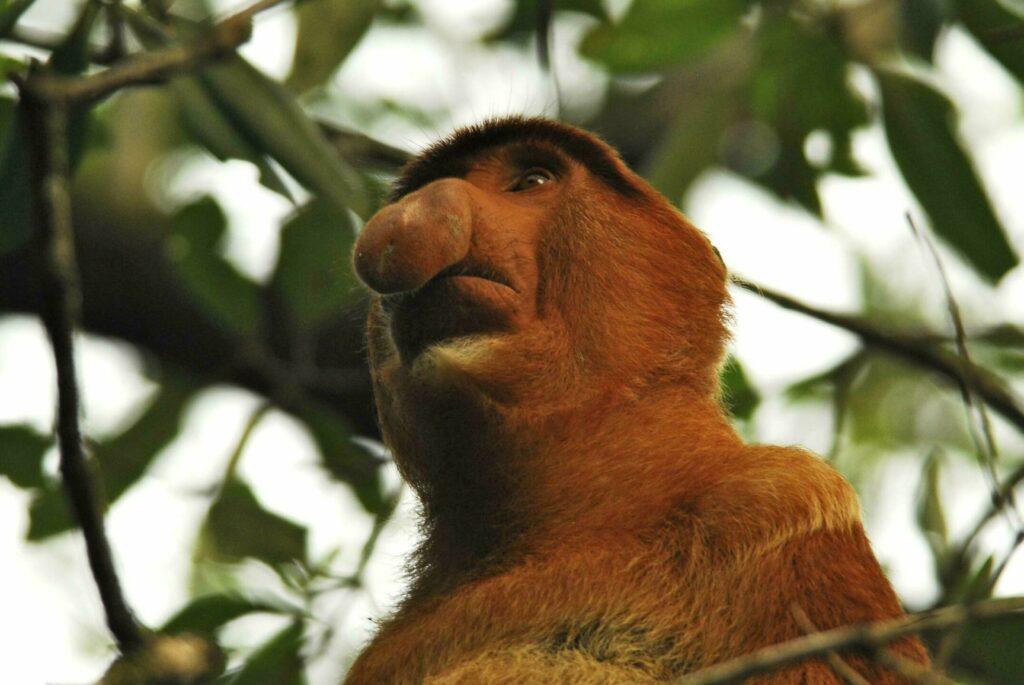 singe nasique animaux étranges