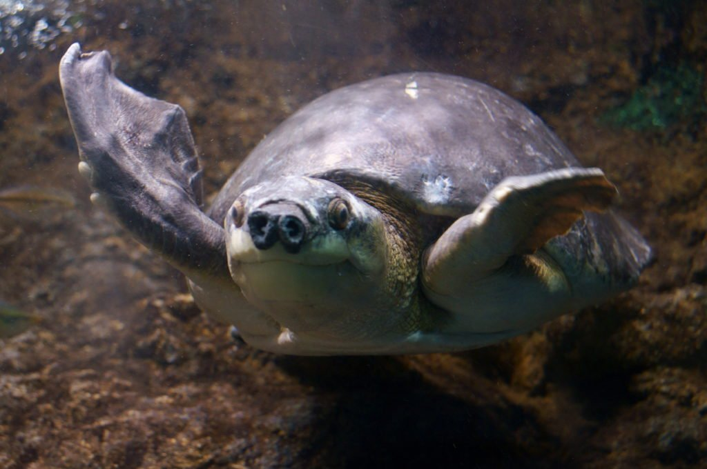 tortue à nez de cochon