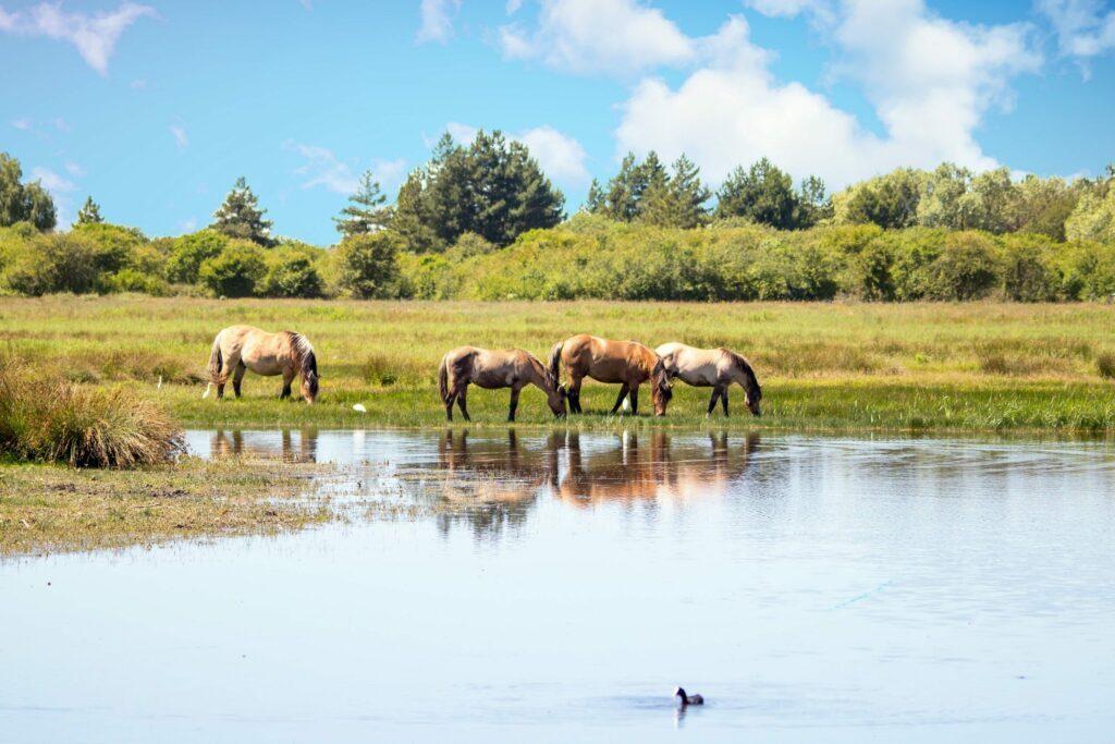 chevaux Henson en Baie de Somme