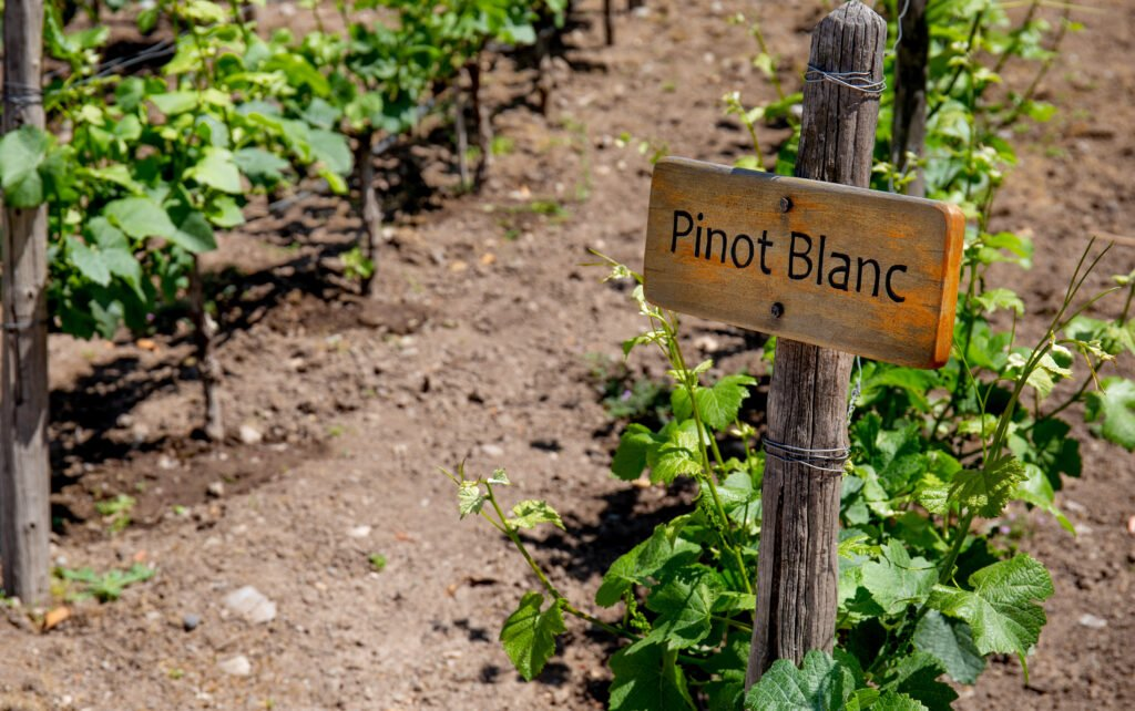 Pinot Blanc en Alsace