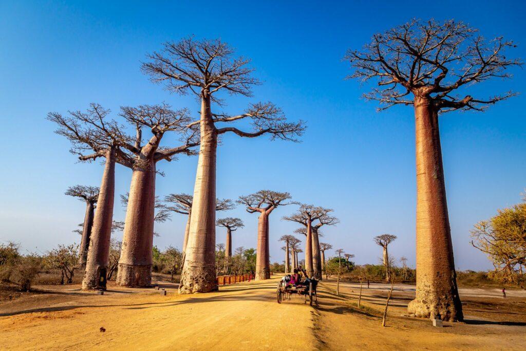 L'avenue des Baobabs à Madagascar