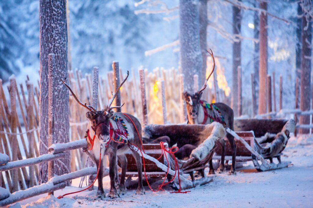 Les rennes de Finlande