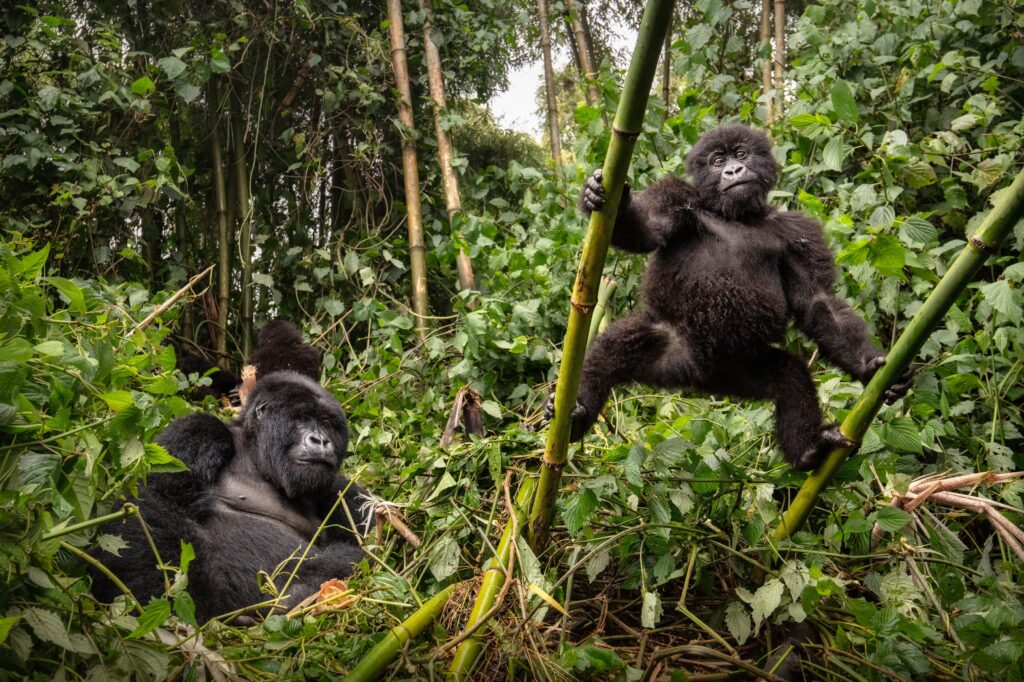 L'Ouganda et ses gorilles