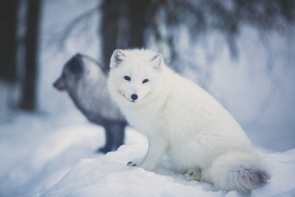 Trouver des renards polaires en Finlande