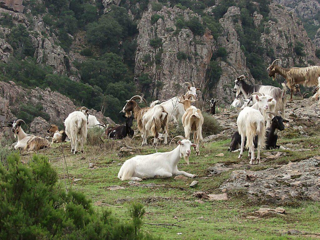 S'occuper des chèvres en Corse